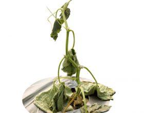 Корневая и прикорневая гниль стеблей огурца