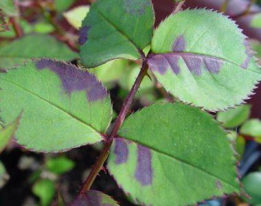 Пероноспороз или ложная мучнистая роса