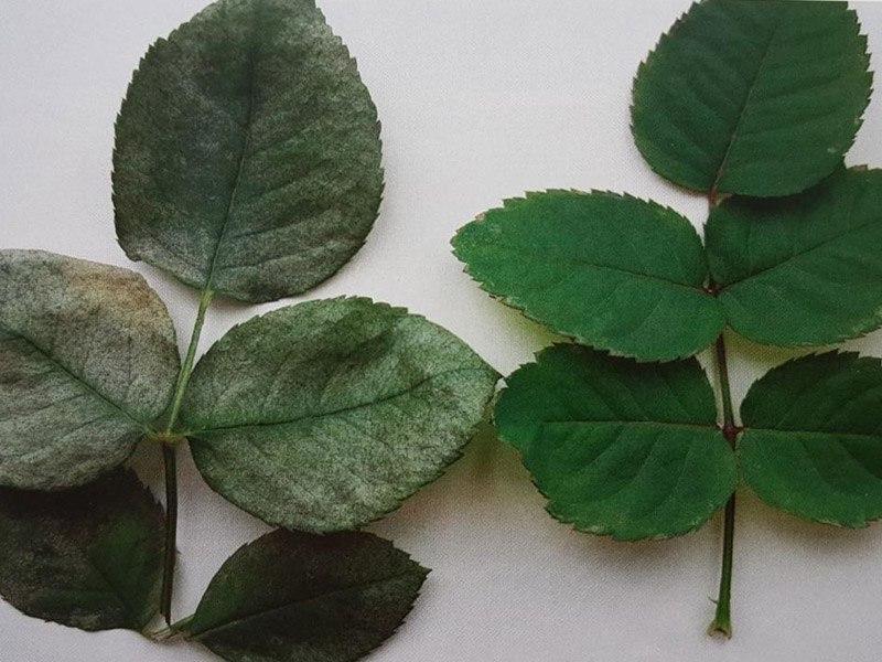 повреждения розы эхинотрипсом