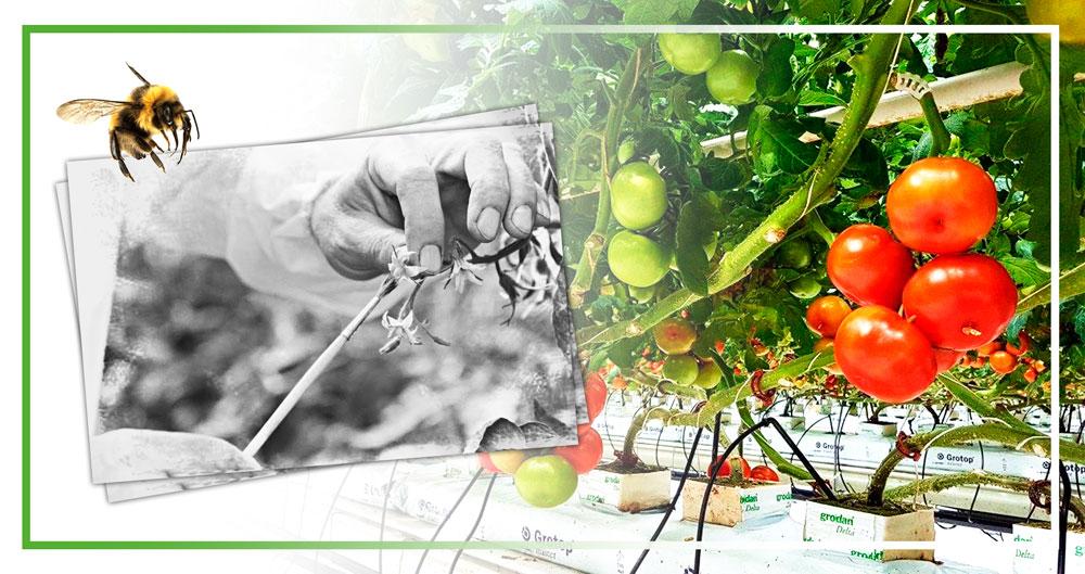 Опыление томатов шмелями