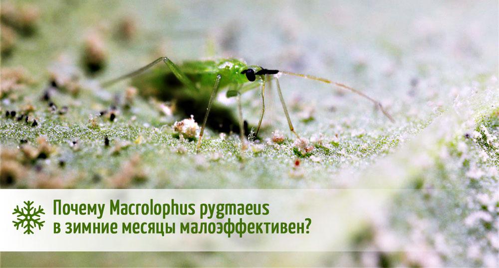 эффективность Macrolophus pygmaeus