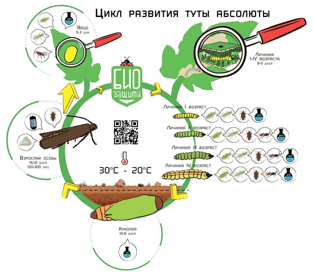 Цикл развития вредителя Тута Абсолюта от компании БиоЗащита