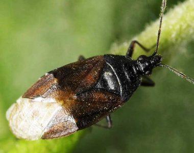 Orius majusculus
