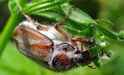 Майский жук фото, хрущ
