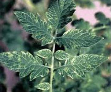 Вирус крапчатости листьев томата