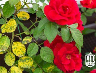 Марсонина или черная пятнистость розы