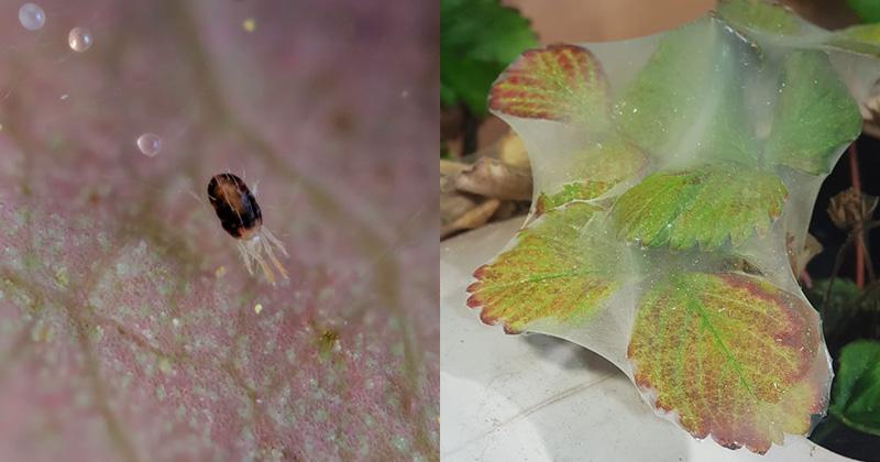 паутинный клещ клубника