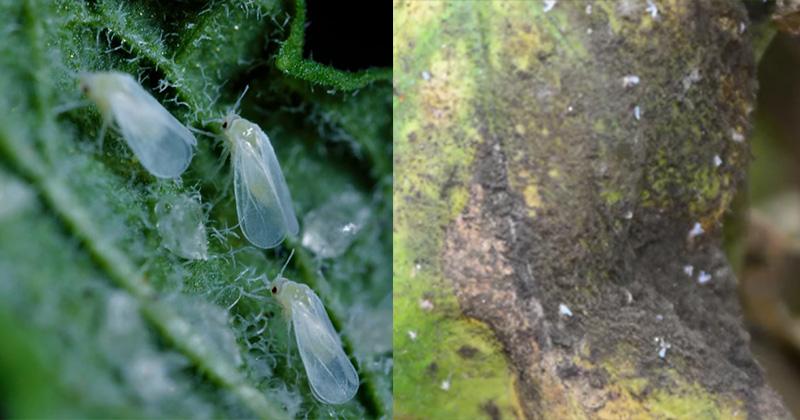 белокрылка на клубнике