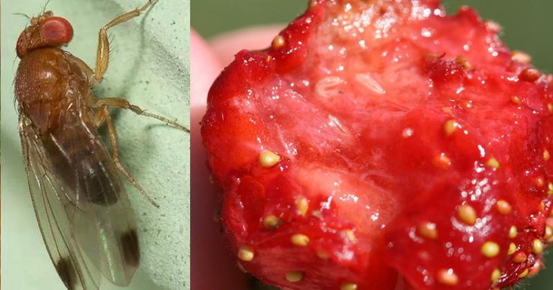 дрозофила судзуки клубника