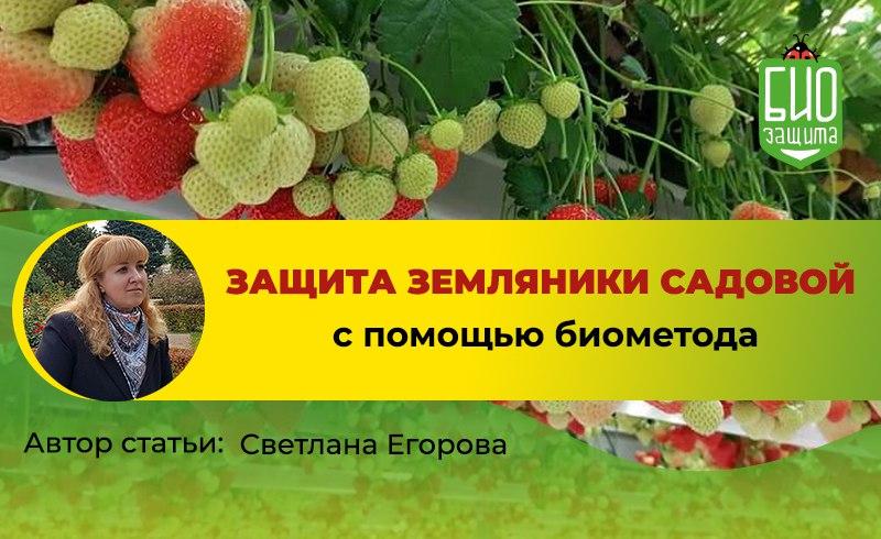биозащита клубники Егорова